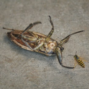 The wind storm blew a toe-biter into an unfortunate position onto this Carlton patio, where he then had to fend off a yellowjacket. Photo by Sue Misao