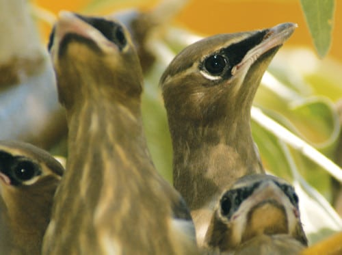 Baby cedar waxwings on Libby Creek. Photo by Sue Misao