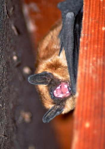 Mad bat in Libby Creek shed. Photo by Sue Misao