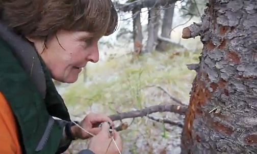 Connie Mehmel examines whitebark pine trees in the Sawtooths. Image from Seattle Times video