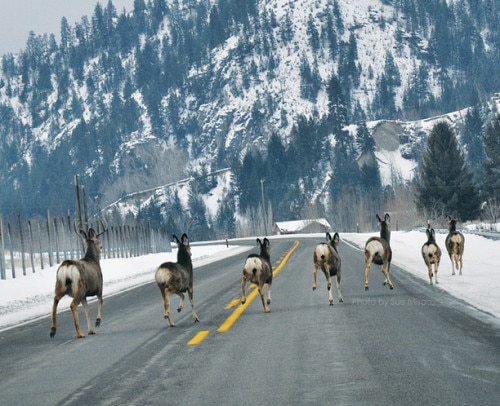 Deer on Highway 153 south of Carlton. Photo by Sue Misao