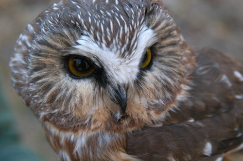 Saw whet owl on Libby Creek. Photo by Sue Misao