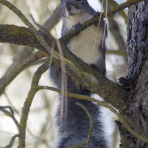 Western Gray Squirrel on Libby Creek. Photo by Sue Misao