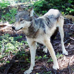 Petition urges non-lethal measure for wolves