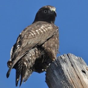 Catch the peak of hawk migration at this weekend's festival