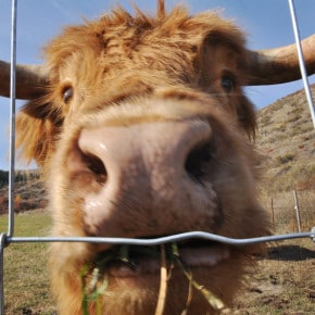 This nosy, grass-chewing bovine-like creature got up close and personal on Saturday (Oct. 19) in a field on the West County Road. Photo by Sue Misao