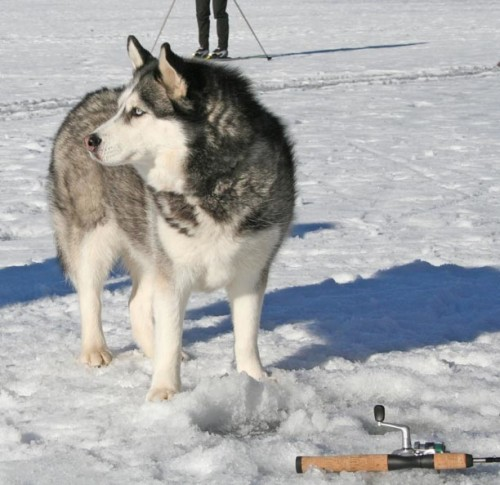 Gone Fishin'. As cross country skiers enjoyed the tracks around Patterson Lake Monday (Jan. 20), this Husky decided ice fishing was more his speed. Photo by Darla Hussey