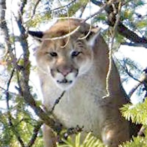 Two more cougars shot, one after killing calf near Twisp