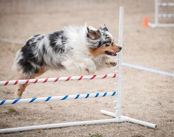 Janet Boyce's dog, Flynn, negotiates a jump while navigating a dog agility course. Last weekend at the Moses Lake Agility Trial, Flynn won the Novice Standard title. Photo by Teri J. Pieper