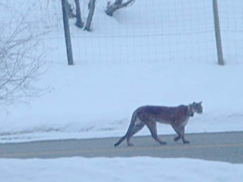 A cougar walking down the middle of the road in front of a West Chewuch home. This photo, taken by the homeowner, shows one of the cats collared during the course of local research efforts. This animal is not known to be involved in any of the depredation incidents in the Methow Valley this winter. Photo by Georgia Adams