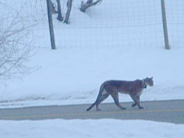 A cougar walking down the middle of the road in front of a West Chewuch home. This photo, taken by the homeowner, is not of the cougar in this story but another close encounter with one of the big cats this winter. Photo by Georgia Adams