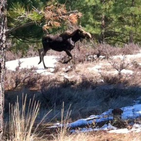 There were several moose sightings in the Methow Valley this past weekend, from Twin Lakes Road to Twisp River Road. Kathie McMillen snapped some photos of this moose near Twin Lakes Road, not far from the school campus. Photo by Kathie McMillen