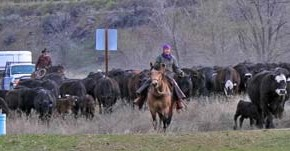 Humans, left to right: Dave Hicks, Ranch Manager (In orange vest riding Mahoney) along with Deed and Carrie Fink bring the herd down East County Road in preparation for their trip through Twisp. Photo by Darla Hussey
