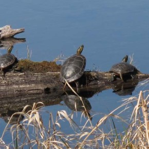 Keeping your head above water. These Western painted turtles — one of only two native species — took full advantage of the sun last weekend, soaking up enough warmth to sustain them while foraging in the chill of this beaver pond. Photo by Marcy Stamper