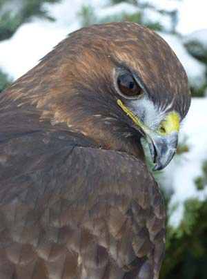 Hawk eye. Apollo, a red-tailed hawk, may be among the raptors at the Methow Valley Interpretive Center on Sunday. Photo courtesy of Okanogan Wildlife League