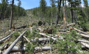 View looking upslope at avalanche path. Photo courtesy USFS