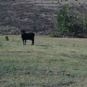 Farmers, ranchers lose livestock, pastures, trees to fire