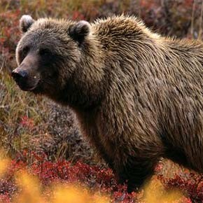 Park Service will study restoration of grizzlies to North Cascades
