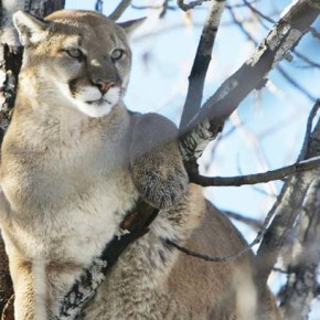 Cougar killed after close encounter at Rendezvous home