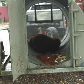 Hungry bears foraging too close to local homes