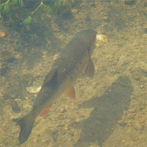 BPA hosts meeting on proposed fish acclimation project