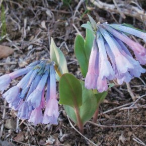 Photo by Marcy Stamper Like a bolt out of the blue... Days of spring-like weather — before last weekend's snow — coaxed bluebells out of the ground on many hillsides around the valley. Some folks even eat the leaves and flowers.