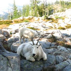 "Wake up call.  Solo backpacker Frank Vander Wall poked his head outside his tent Saturday morning and found mama and baby mountain goat investigating his campsite at a remote alpine lake in North Cascades National Park. ""I woke up at first light Saturday morning to the sound of someone stomping around outside my tent,"" Vander Wall said. The furry pair hung around Vander Wall's campsite ""posing for photos"" until he packed up and left, he said.Photo by Frank Vander Wall"