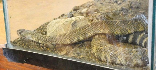 Rattlesnake encounters bring a buzz to the valley