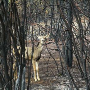 Wildfire advantageous to wildlife—or not