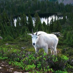 Relocation program brings mountain goats to North Cascades