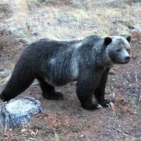 Study finds ample historic evidence of grizzly bears in North Cascades
