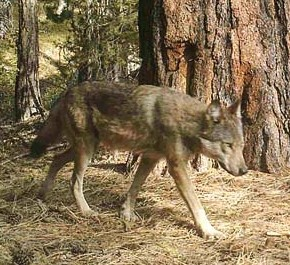 Another gray wolf pack identified in Methow Valley