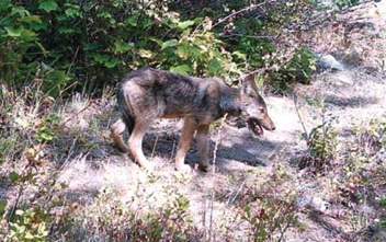 It's possible that this pup, caught on camera several years ago, is now one of the parents of the new pups discovered this summer