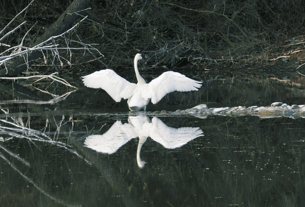 A trumpeter swan lived in a pond south of Twisp for several weeks in spring. Photo by Sue Misao