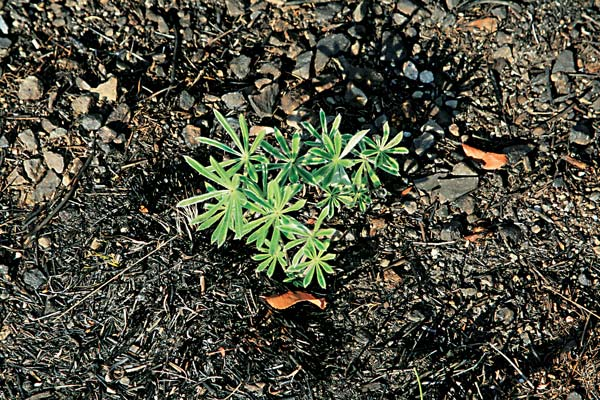 Delicate fronds of lupine are already sprouting from the charred soil. Scientists expect some burned areas to recover well, but others will need careful restoration and monitoring to keep out weeds. Photo by Marcy Stamper
