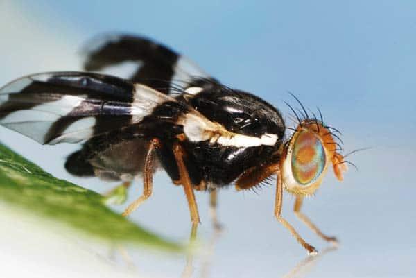Photo courtesy of Joseph Berger, Bugwood.org via Wikimedia Commons A female apple maggot fly.