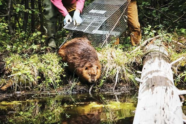 Photo courtesy of Sarah Koenigsberg, HCN A beaver in the holding ponds at the Methow Valley Beaver Project, where it will stay until it's relocated back into the wild.