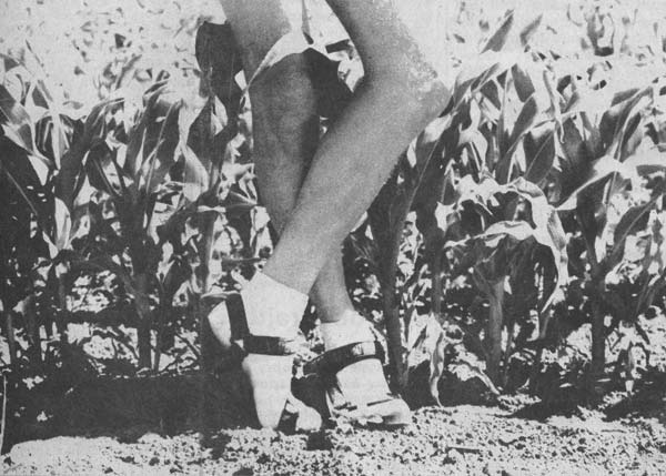 Methow Valley News file photo by Toni Dalton Knee-high by the Fourth of July. The sweet corn in Charlie Lehman's field near Twisp is right on schedule.