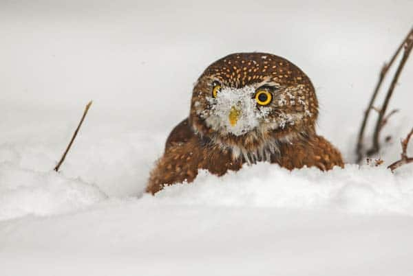 Photo courtesy of Paul Bannick Northern Pygmy owl