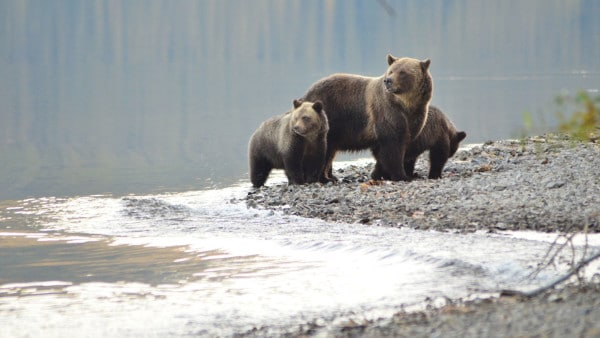 Photo courtesy of Joe Scott, Conservation NorthwestDespite having a bad reputation as dangerous animals, grizzlies tend to avoid humans.