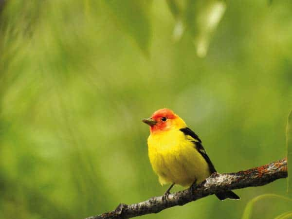 Photo by Mary Kiesau Learn about tanagers and other local wildlife at The Merc Playhouse on Tuesday.