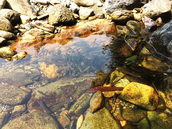 Photo courtesy of WDFW These fish were stranded in an isolated pool near Poplar Flats Campground on Aug. 13, 2015.