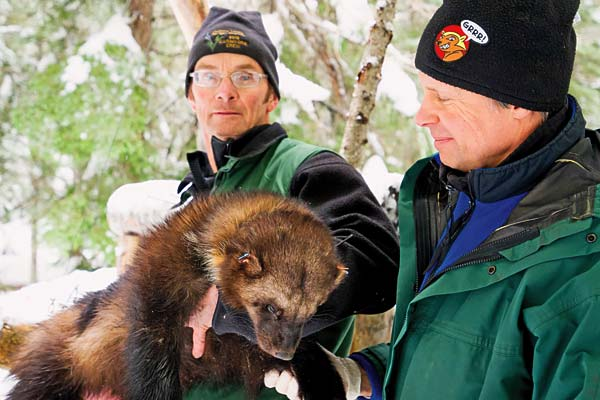 Biologists John Rohrer of the U.S. Forest Service, left, and Scott Fitkin of Washington Department of Fish and Wildlife, examine an immobilized, 30-pound wolverine caught in a trap Feb. 1 near Easy Pass. Rohrer and Fitkin have helped conduct research into wolverines in the North Cascades for the past nine years as part of a decade-long study that ends this year.  Photo courtesy of Zach Winters, USFS